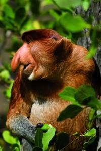 Næseabe Proboscis Borneo IST